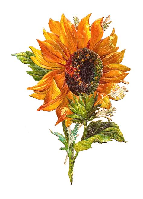 printable sunflower images antique images free flower graphic sunflower clip art of
