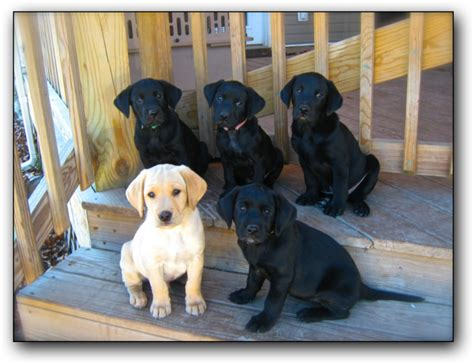 lab puppies for sale in south dakota tallgrass labrador retriever kennel in south dakota offers lab puppies