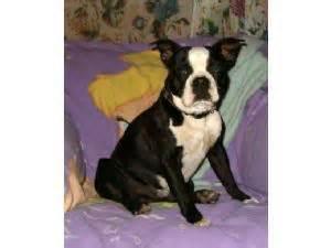 puppies for sale lewiston idaho boston terrier puppies in idaho