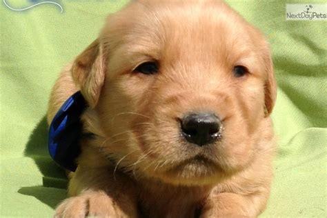 free golden retriever puppies in pa golden retriever puppy for sale near lancaster pennsylvania 49fb73ea 8521