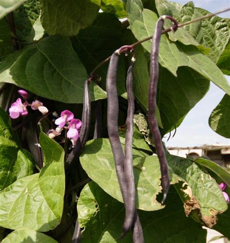 Purple Peacock Pole Bean Seeds