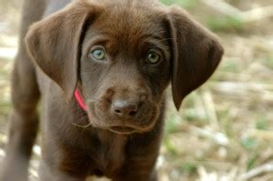 chocolate lab puppies for sale oregon golden retriever puppy for sale portland breeds picture