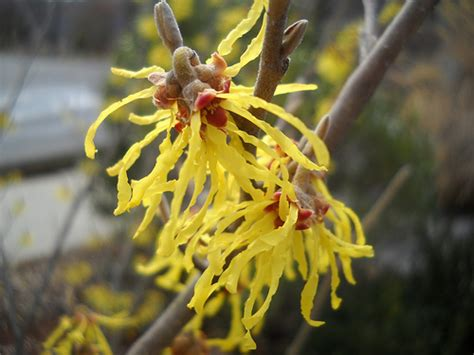 witch hazel flowers flickr photo sharing