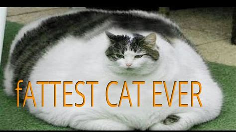 Images Of The Worlds Fattest Cat