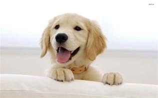puppy wallpaper golden retriever wallpapers wallpaper cave