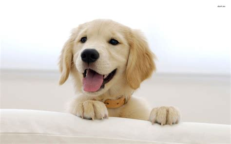 golden retriever puppy pics golden retriever wallpapers wallpaper cave