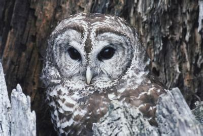 how to attract a barred owl to an owl house gardens