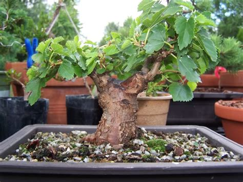 what is the fastest growing fruit tree what are some fast growing bonsai fruit trees in delhi