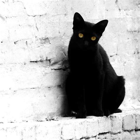imagenes en negro de gatos el gato negro amor animal