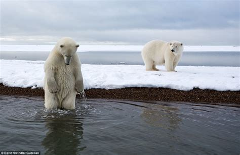 imagenes de osos impresionantes impresionantes fotos de osos polares en alaska forocoches