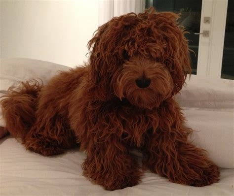mini goldendoodles teddy teddy goldendoodles teddy jpg puppies