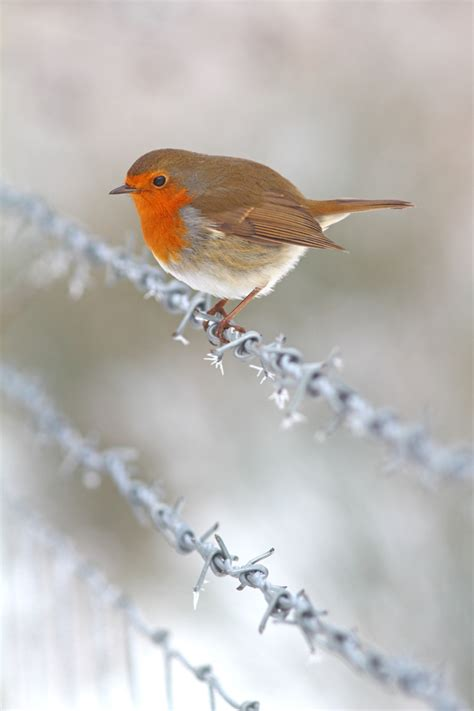 winter robin on a frosty wire fence by simon roy