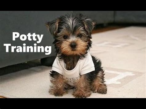 how to a yorkie puppy to potty yorkie puppies potty trained house a terrier housebreaking a