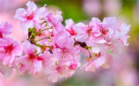 fiori di co primaverili scarica sfondi fiore di ciliegio primavera rosa fiori