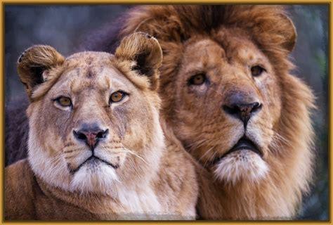 son los animales ms infieles a su pareja que nosotros taringa im 225 genes de leones con frases de amor archivos imagenes