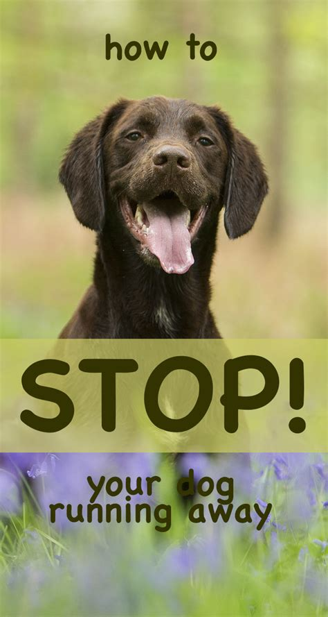 why do dogs run away dogs running away how to stop them the labrador site
