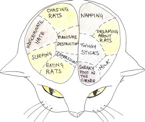 diagram of a cat cat brain diagram www pixshark images galleries