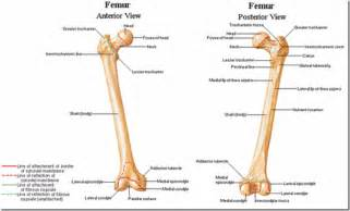 Femur linea aspera anatomy linea aspera of femur my journey to