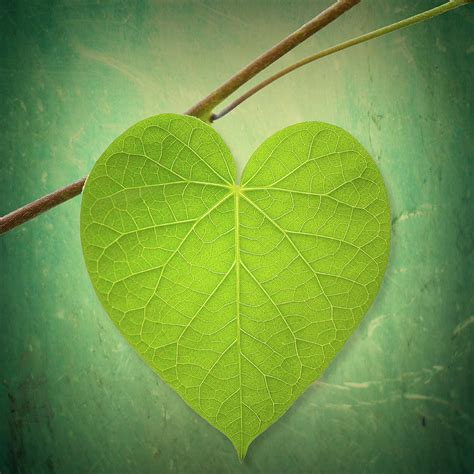 leaf green heart shaped photograph by philippe sainte laudy photography