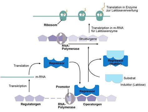 induktor biologie induktor operon 28 images enzyminduktion kompaktlexikon der biologie goconqr molekulare
