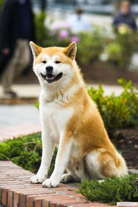 what of is hachi 89 best images about hachi on shibuya tokyo akita and loyalty