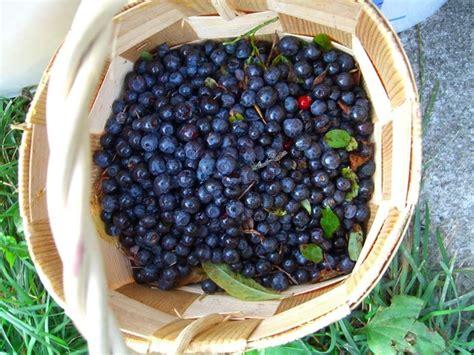 pianta di mirtilli in vaso coltivare mirtilli piccoli frutti coltivare mirtilli