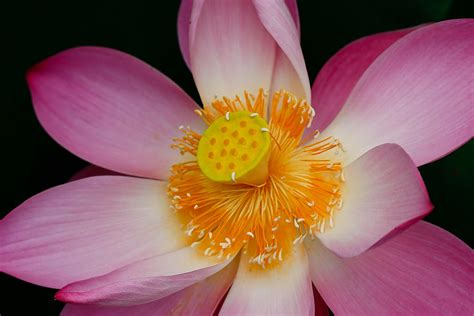 lotus flower thailand pink lotus flower blooming at thailand photograph by