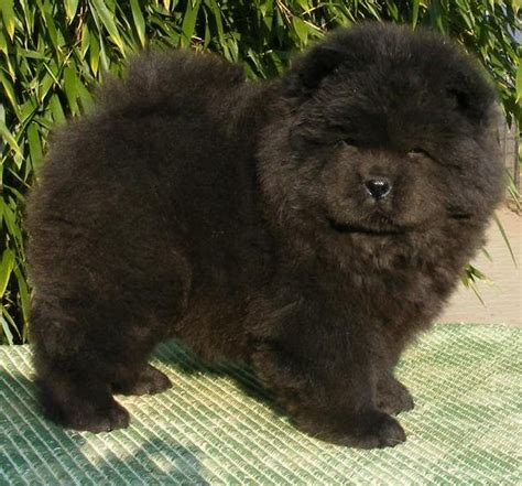black chow puppy 40 chow chow puppies pictures