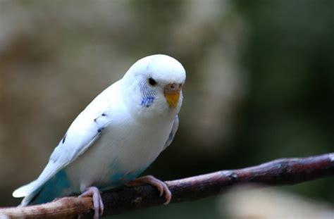 White Parakeet | Taken at Fort Worth Zoo in the parakeet ...
