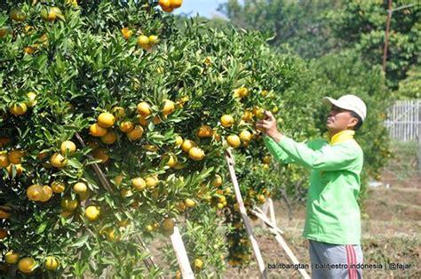 Tempat Jual Bibit Strawberry Di Malang kpri citrus pusat pesanan benih jeruk indonesia