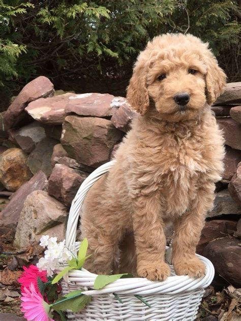 quot diana quot f1b standard goldendoodle beautiful wavy hair
