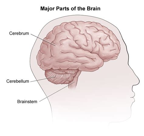 three main sections of the brain what is the cerebrum socratic