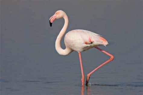 imagenes animal flamenco 191 qu 233 comen los flamencos respuestas tips