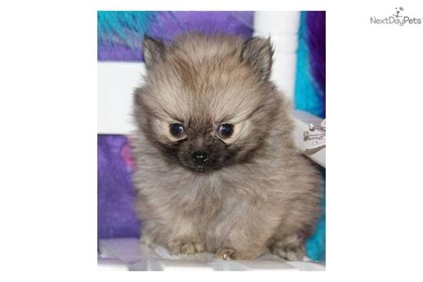 pomeranian breeders in washington state teacup pomeranian puppies washington state breeds picture breeds picture