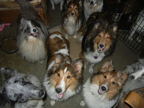 sheltie puppies for sale in pa shetland sheepdogs for sale in pennsylvania breeds picture