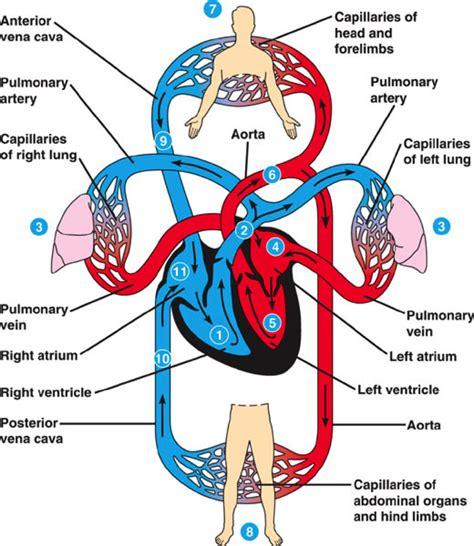 cardiovascular system easy anatomy