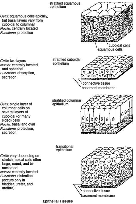 anatomy and physiology coloring workbook answers tissue repair epithelial tissue