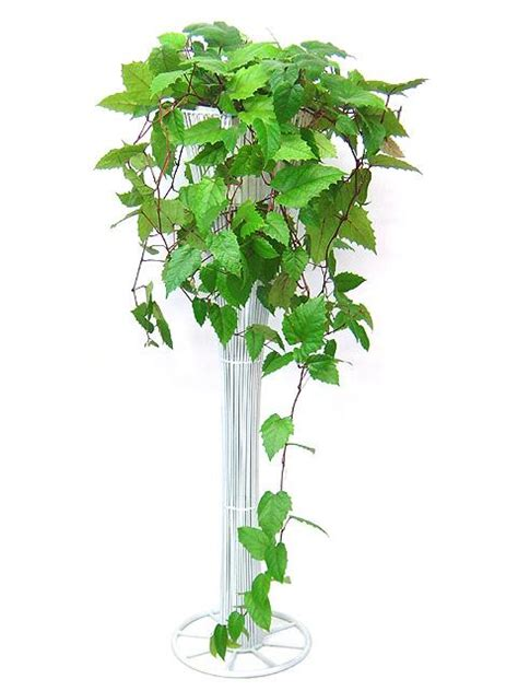 Indoor Vine Plant Cissus Antarctica Kangaroo Vine