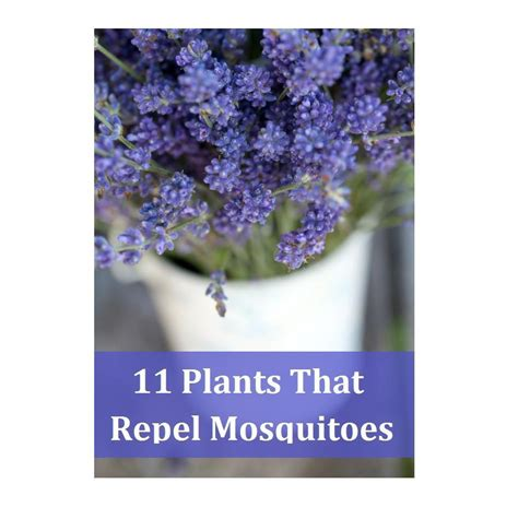 plant these keep your garden mosquito free musely