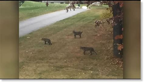 bobcat attacks bobcat attacks in chelmsford massachusetts earth changes sott net