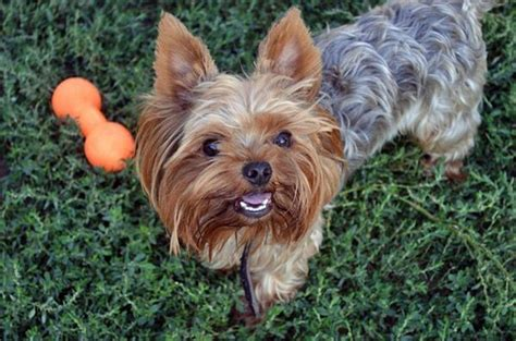 house yorkie puppy 280 best images about yorkies on yorkie puppies for sale