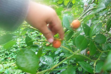 types of fruit trees with pictures local ecologist types of tree fruit