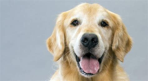 golden retriever in need golden retrievers everything you need to shield my pet