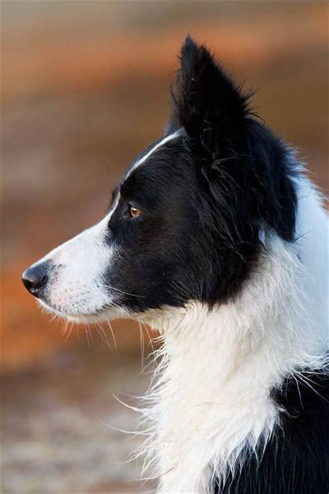 Border Collie Also Search For The 25 Best Haired Border Collie Ideas On Dogs Border Collie