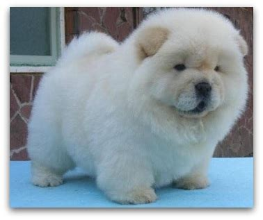 breed that looks like a teddy 11 dogs that look like teddy bears pictures and