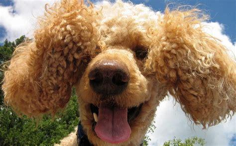 corte pelo caniche cortes de pelo para tu caniche