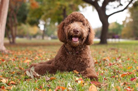 doodle puppies for sale scotland labradoodle puppies for sale in scotland glasgow