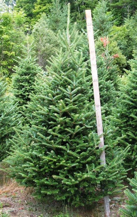 7 8 ft fresh nobel fir fresh cut trees from redrock farm