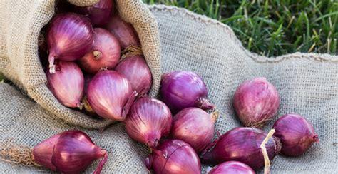Bibit Bawang Merah panduan cara menanam bawang merah lengkap tapi praktis