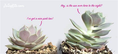 grow lights  indoor succulents  cacti juicykitscom